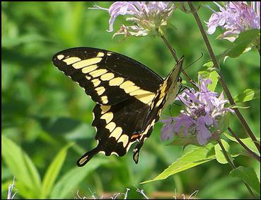 Butterflies Of Massachusetts
